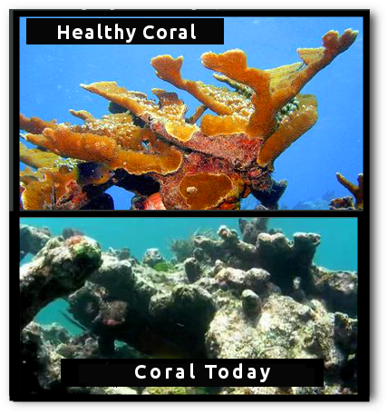 coral reef - elkhorn -  before and after climate change